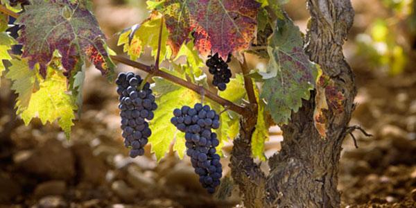 Ruta del vino de Yecla