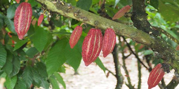 Ecuador, un recorrido por la calidad de su chocolate y su café