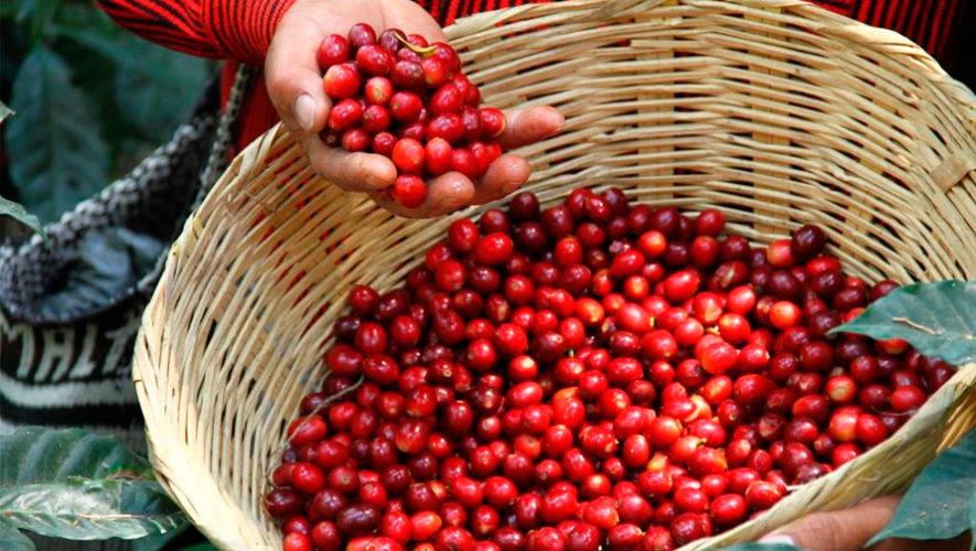 variedades de café de Guatemala