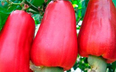 Turismo gastronómico en Panamá, ¿Sabes qué es el marañón?