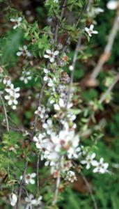 Flor de Manuka