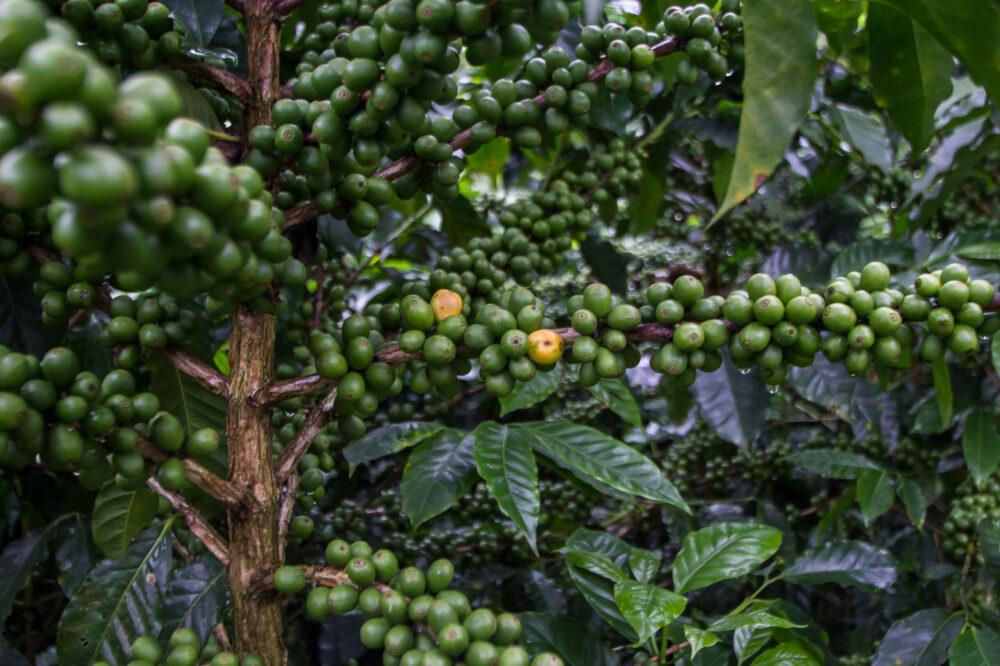 cultivo cafetos honduras