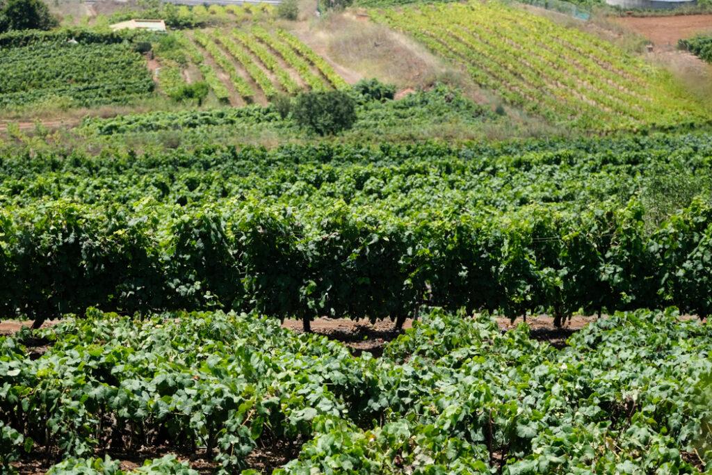 viñedos Canarias