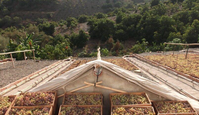 Ruta de la Pasa, fruto de lujo malagueño